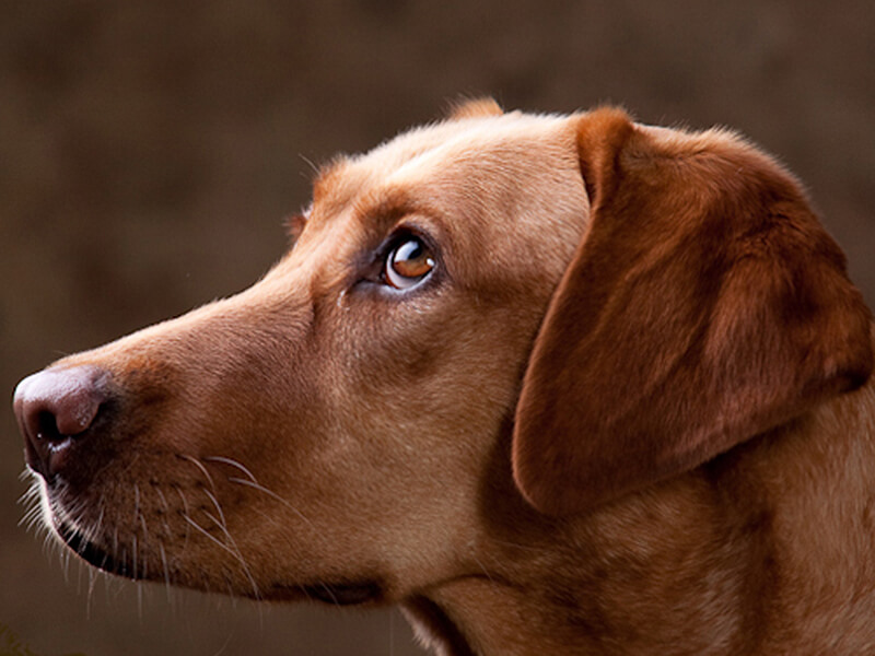 Lucky Puppy of the Week: Dixie the Redbone-Lab Mix - Lucky ...