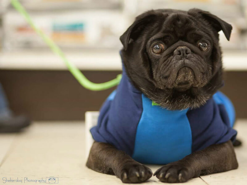 Newly Adopted Earl the Pug Saves His Family From a House Fire
